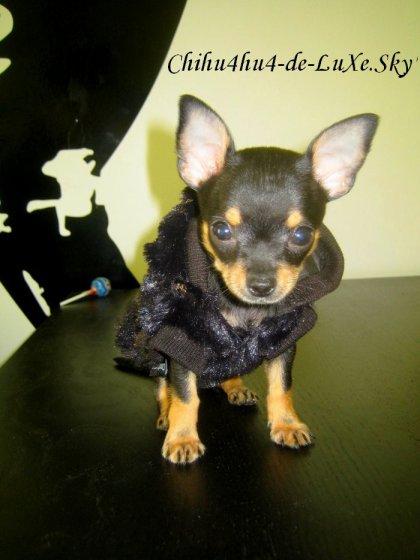 Chihuahua N°1 ♥ (Mélanie, 19ans, Département 95)