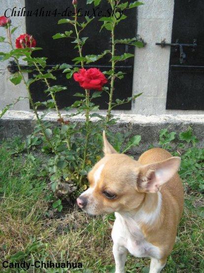 Chihuahua N°4 ♥ (Ophélia, 22 ans, Belgique)