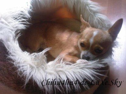 Chihuahua N°6 ♥  (Audrey, 21 ans, Département 13)