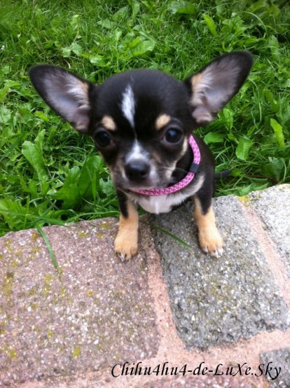 Chihuahua N°7 ♥  (Déborah, 20 ans, département 54 Nancy)