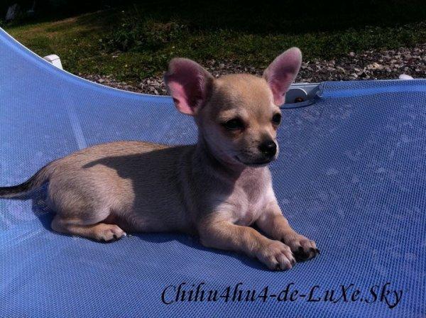 Chihuahua N°9 ♥ (Mégane, 16 ans, Picardie)