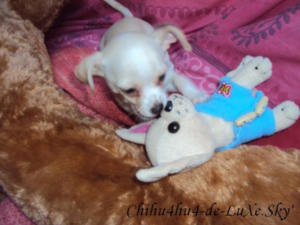Chihuahua N°10 ♥ (Wendy, 18 ans, Belgique)