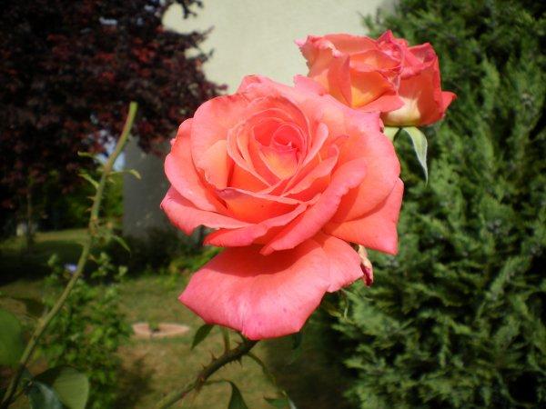 ☸ڿڰۣ ஐ-☸ڿڰۣஐ-☸ڿڰۣ -☸ڿles dernieres roses du jardinڰۣ ஐ-☸ڿڰۣஐ-☸ڿڰۣ