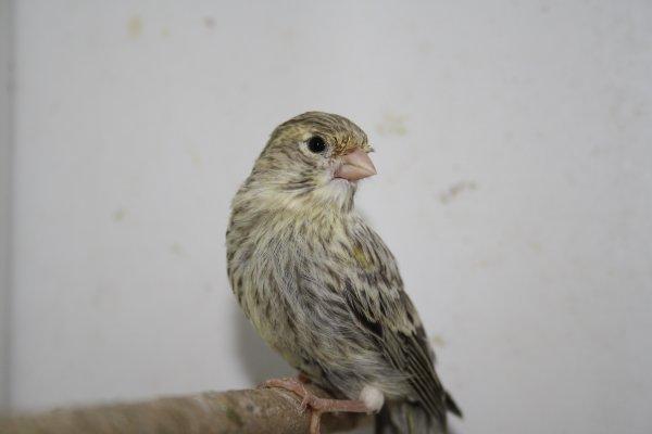 quelques oiseaux qui ne sont pas trés beau pour le moment !!!!!!!! mais qui me plaise beaucoup déja.