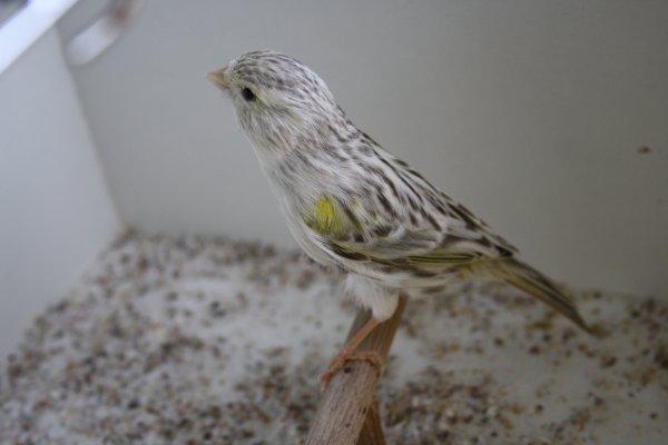 Femelle agate topaze mosaique jaune
