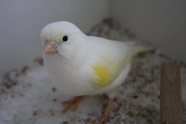Lipo jaune mosaique