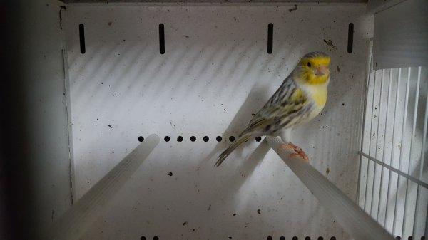 cède canaris  Agates topazes jaune mosaique