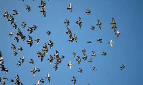 vente de pigeonneaux de la societe de Marquette en ostrevant