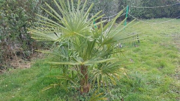 Mon palmier