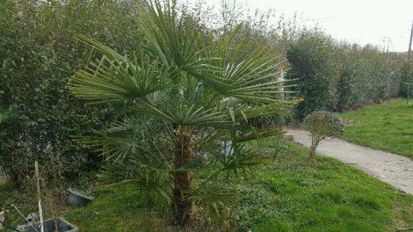 Mon plus beau palmier