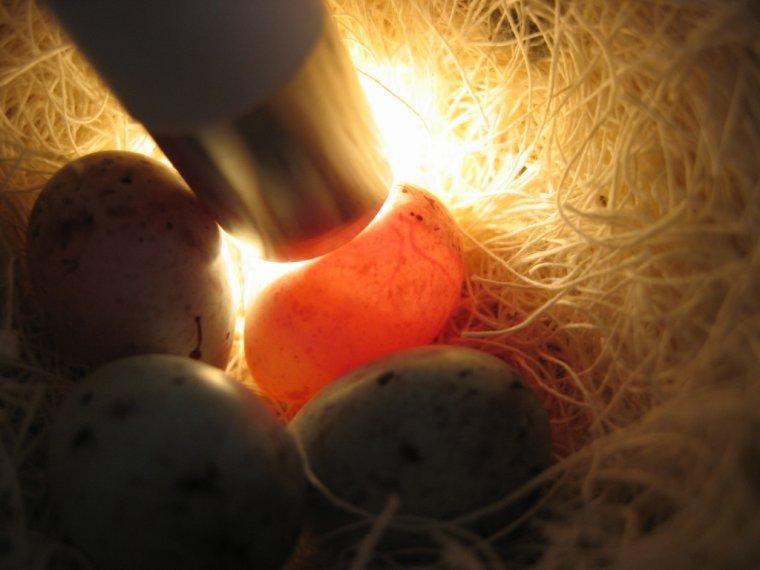 طريقة التعرف على البيض المخصب من غيره