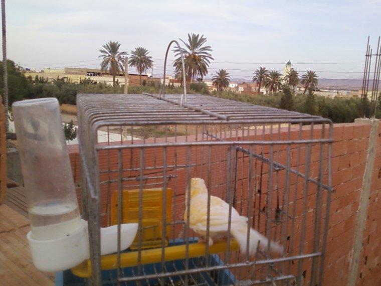 موسم تزاوج طيور الكناري