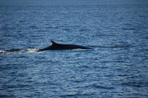 baleine dans le st laurent à Tadoussac