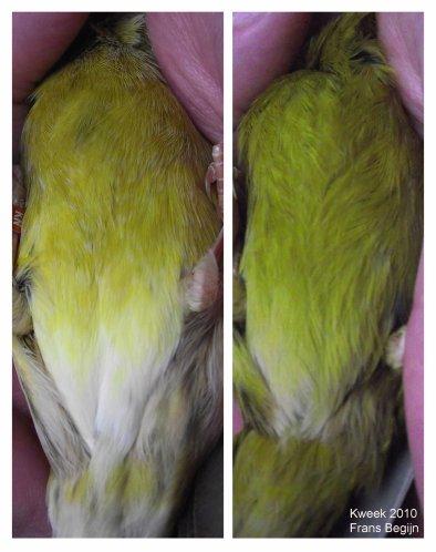 (L) Bruin Geel Schimm. split Kobalt onderzijde  -  (R) Bruin Kobalt Geel Int. onderzijde