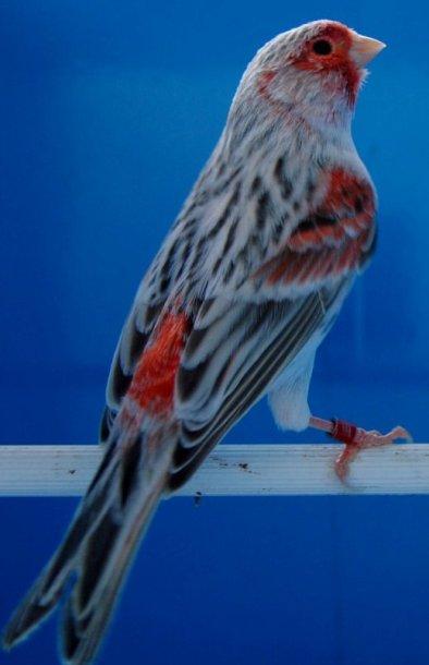 Agaat Pastel Rood Mozaiek - T2 - Man