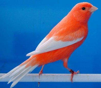 Lipochroom Rood Ivoor Intensief - Witte vleugelpennen - Witte staartpennen
