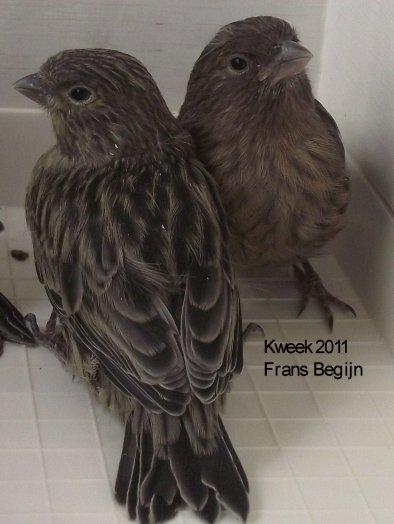 Kweek 2011 - Evolutie Zwartkobaltgeel ( 19 dagen )