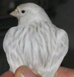Agaat Opaal Wit Recessief - Agaat Topaas Wit Recessief