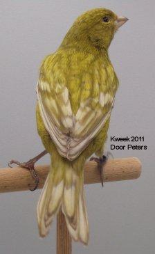 Op 't hok bij ... Door Peters te Zwijndrecht - Zwart Grijsvleugel Geel Intensief - Man