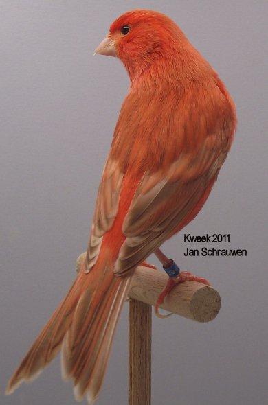 Op 't hok bij ... Jan Schrauwen te Sint Willebrord (NL) - Isabel Rood Ivoor Intensief - Man