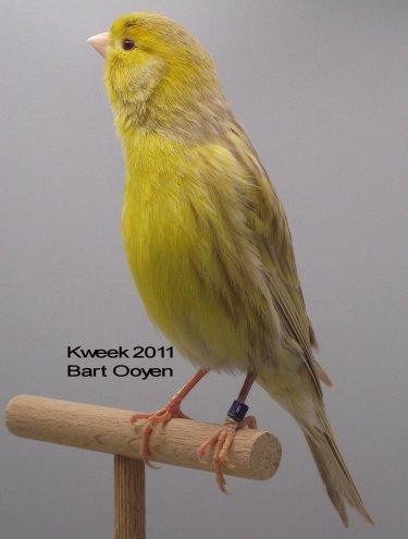 Op 't hok bij ... Bart Ooyen te Oudenbosch (NL) - Bruin Eumo Geel Schimmel - Man