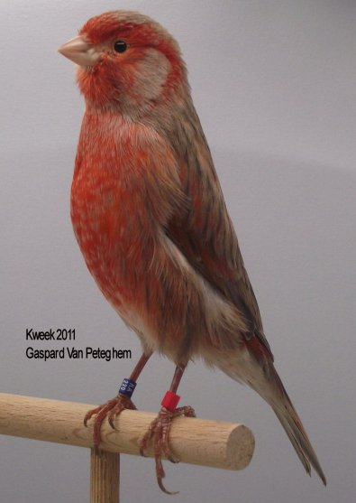 Op 't hok bij ... Gaspard Van Peteghem te St Niklaas - Zwart Pastel Rood Schimmel - Pop
