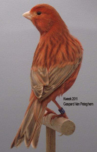 Op 't hok bij Gaspard Van Peteghem te St Niklaas - Bruin Pastel Rood Ivoor Int.- Man