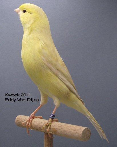 Op 't hok bij Eddy Van Dijck te Zandhoven - Isabel Pastel Geel Ivoor Intensief - Man