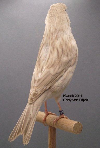 Op 't hok bij Eddy Van Dijck te Zandhoven - Agaat Pastel Wit Dominant - Man