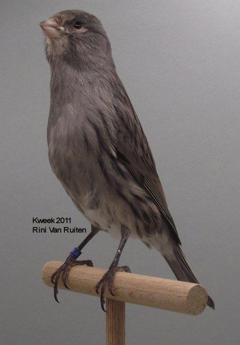 Op 't hok bij ... Rini Van Ruiten te Roosendaal (NL) - Zwart Wit Dominant - Man