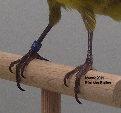 Op 't hok bij ... Rini Van Ruiten te Roosendaal (NL) - Zwart Geel Intensief - Man