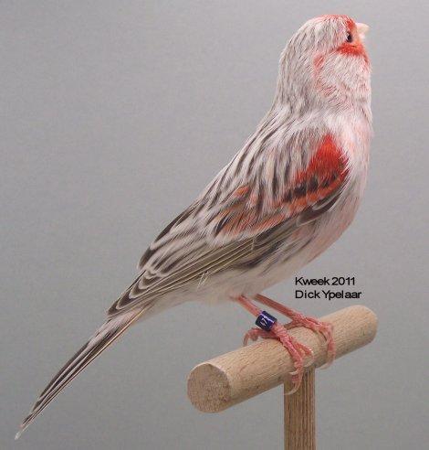 Op 't hok bij .. Dick Ypelaar te Geertruidenberg (NL) - Agaat Pastel Rood Mozaiek Type 2