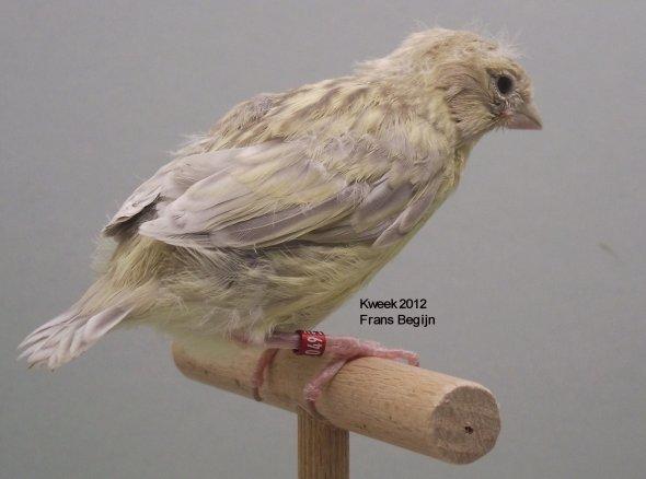 Agaatonyxgeelivoor - Agaatgeelivoor - Poppen - Kweek 2012 - (18 dagen)