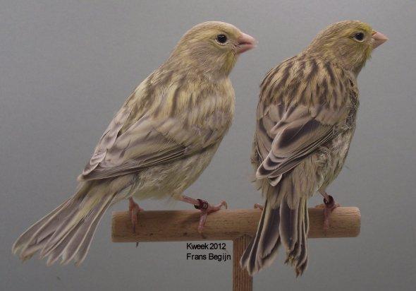 Agaatonyxgeelivoor - Agaatgeelivoor - Poppen - Kweek 2012 - (30 dagen)