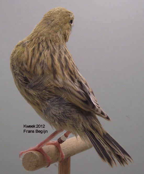Agaat Kobalt Geel Intensief Man - Kweek 2012 (evolutie)  16 - 19 - 24 - 28