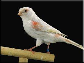 Kleurenpalet - Showvogels allerlei (7)