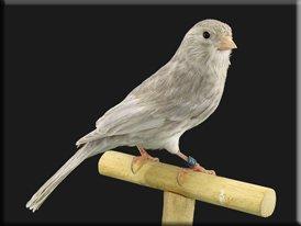 Kleurenpalet - Showvogels allerlei (9)