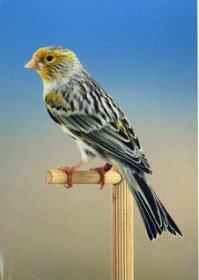 Kleurenpalet - Showvogels allerlei (10)