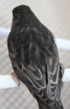 Zwart Onyx Wit