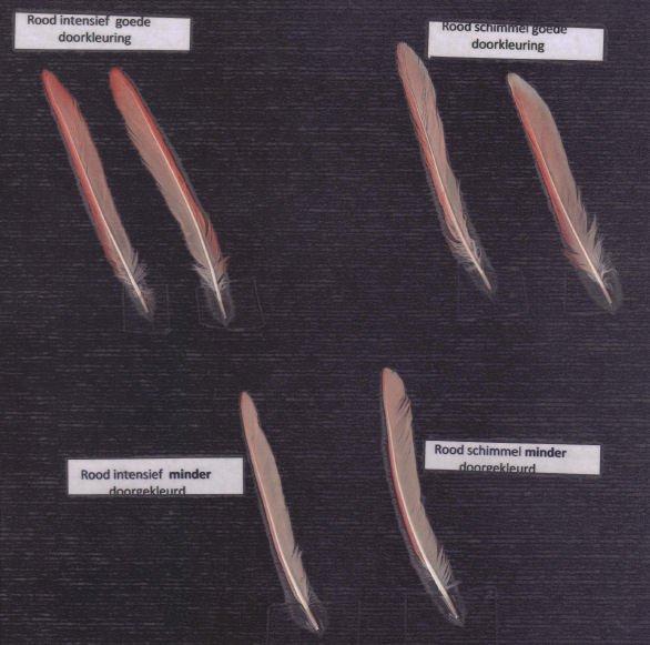 Rood-schimmel en Rood-intensief - Advies m.b.t. tot het verstrekken van kleurvoeding Technische Dag - Kleurkanariespeciaalclub V.v.N.K. zondag 23.09.2012 te Geel (B)