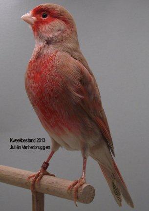 Op 't hok bij Juliën Vanherbruggen te Nukerke Maarkedal (B) - Bruin Pastel Rood Moz. T2
