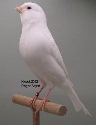 Op 't hok bij ... Roger Seyen te Geel (B) - Albino (recessief)