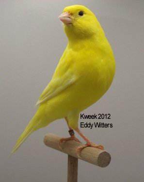 Op 't hok bij ... Eddy Witters te Perk (B) - Lipochroom Geel Intensief - Schimmel - Mannen