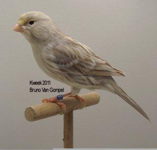 Op 't hok bij Bruno Van Gompel te Perk (B) Bruin Eumo Wit Dominant - Man