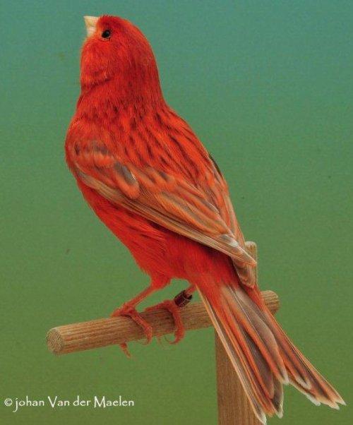 Agaat Pastel Rood Intensief - Man
