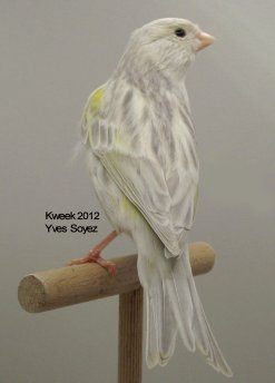 Op 't hok bij ... Yves Soyez te Lessines (Lessen) - Agaat Opaal Geel Mozaiek T1 - Pop
