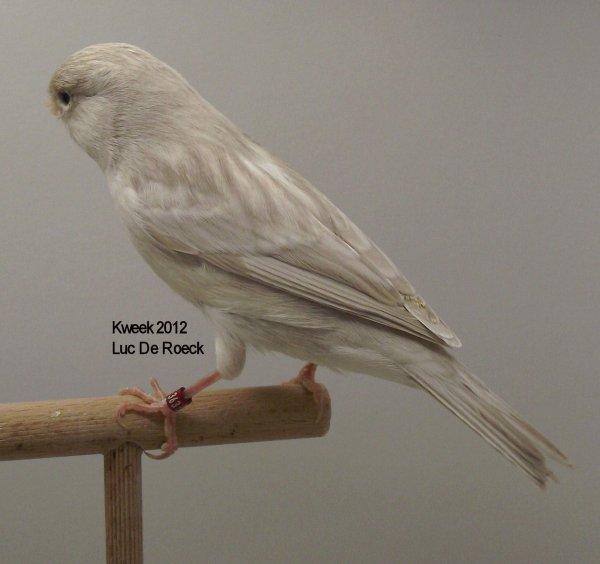 Op 't hok bij ... Luc De Roeck te Lede - Bruin Opaal Wit Recessief - Man