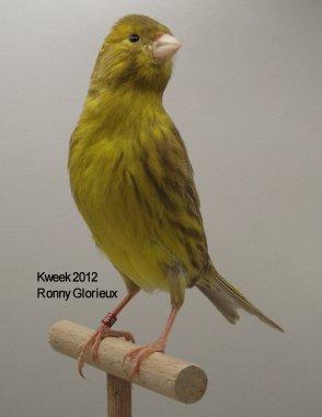 Op 't hok bij Ronny Glorieux te Zingem - Bruin Onyx Geel Schim. - Pop - Gold Medal WK
