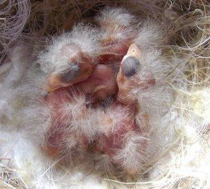 Evolutie Agaatkobaltgeel Homozygoot (fokzuiver)  2de dag t/m 16de dag.