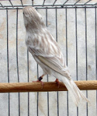 Bruin Opaal Geel Schimmel - Bruin Opaal Wit Dominant